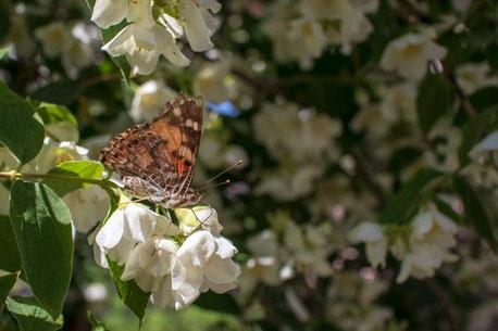 Butterfly in Ukraine
