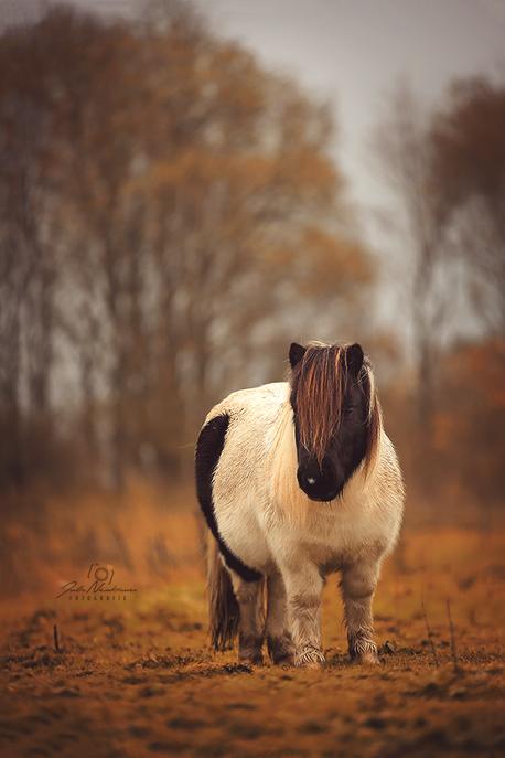 Dänemark_Shetlandpony_Pferd_Fotografin Julia Neubauer_die Roadies