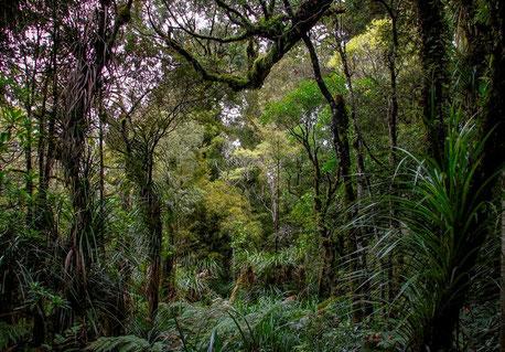 Waipoua-Regenwald in Neuseeland [© Foto: Dr. G. Strobel]