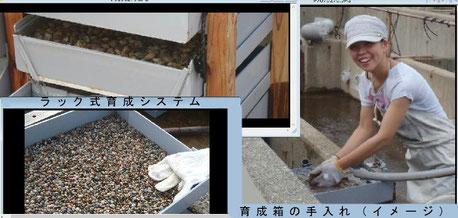 砂ゼロアサリを入れた、ラック式育成装置と手入れ作業の様子