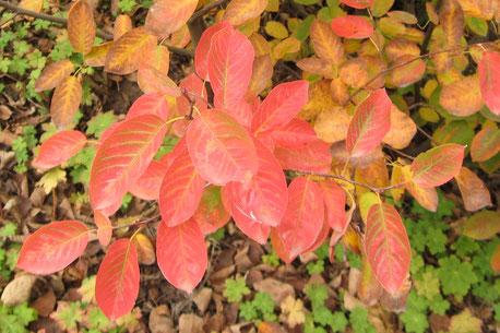 Herbstlaub der Felsenbirne (Amelanchier lamarckii)
