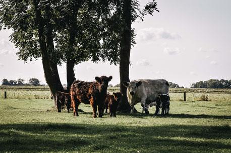 Von der Geburt bis zur Schlachtung: bei unseren Galloways weiß man, wo sie aufwachsen