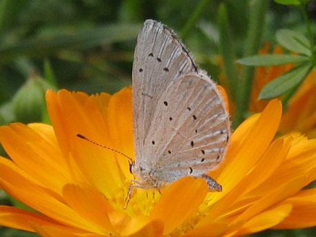 Schmetterling auf einer orangen Blume