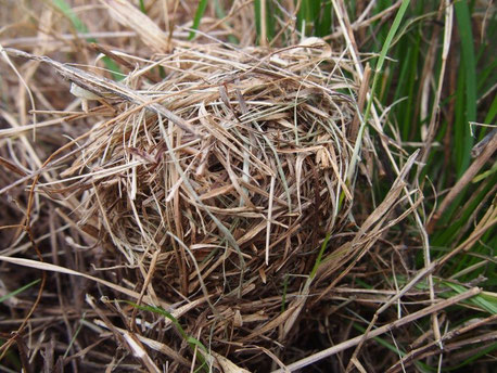 2013年12月30日。ギョウギシバ群落の地表巣