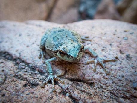 Gute Tarnung kleiner Frosch