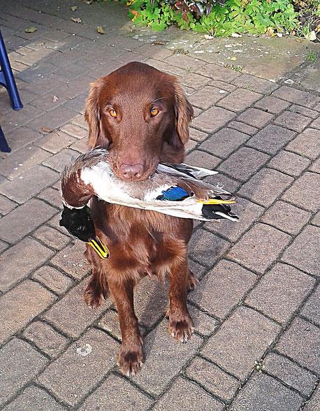 Eine braune Hündin mit einer Ente im Maul.