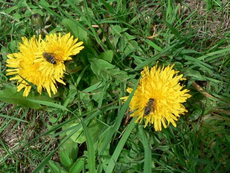 Löwenzahn Blüte Bienen Honig