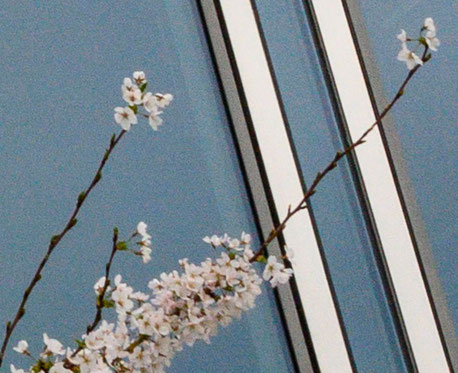 100%-Crop. Kirschblüte vor Glasfassade. NIKON Z7, Z-NIKKOR 24-70mm 1:4S. Foto: Dr. Klaus Schörner