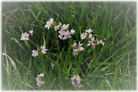 Mitten auf einem Feld bei leichtem Wind: Das Wiesen-Schaumkraut