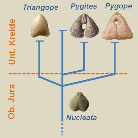 Entwicklung der Pygopinae