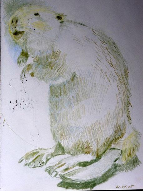 Biber 2005 (Farbstift)