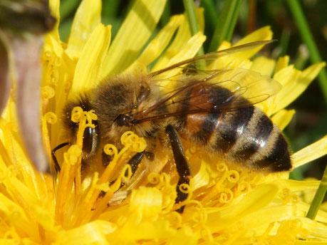 16.04.2016 : Honigbiene im Löwenzahn
