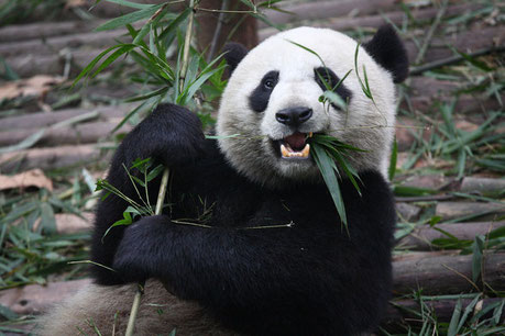 « Giant Panda Eating » par Chen Wu from Shanghai, China — %u8D2A%u5403%u718A%u732B. Sous licence CC BY 2.0