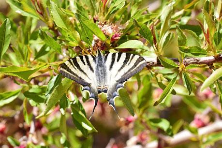 I. feisthamelii f. miegii, femelle, région d'Igherm, Anti-Atlas sud-occidental, 2018, ©Frédérique Courtin-Tarrier