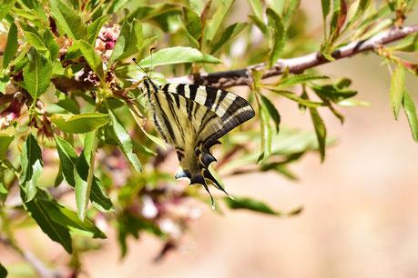 I. feisthamelii lotteri f. maura, femelle, région d'Igherm, Anti-Atlas sud-occidental, 2018, ©Frédérique Courtin