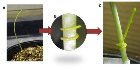 ネナシカズラ寄生段階。(A)発芽、(B)巻き付き、(C)茎頂の伸長。