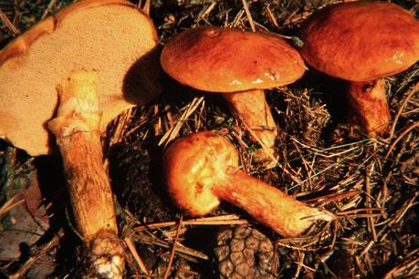Goldgelber Lärchenröhrling (Suillus grevillei),essbar,Schleimschicht bitte entfernen