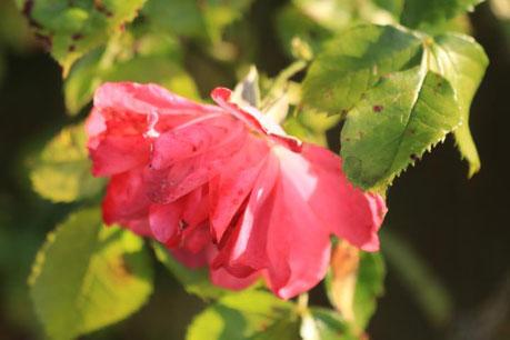 Herbstrose im Garten vom Blockhaus Güster