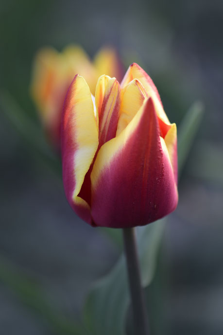 577. Close up tulp (3205)