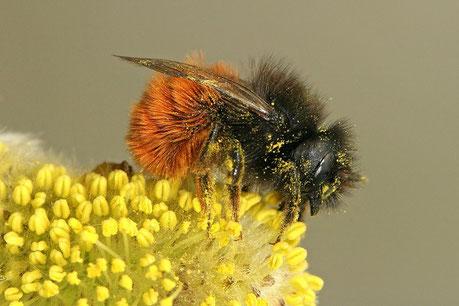 Solitaire bijen