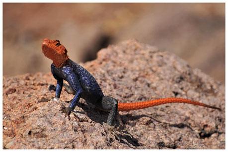 Agame des rochers de Namibie