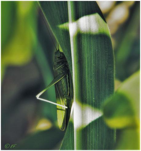 Ein weibliches Großes Heupferd versteckt auf einem Maisblatt