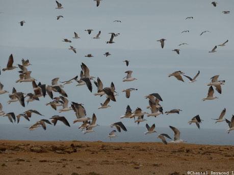 Envol d'oiseaux dans le ciel, des goelands au dessus du sable et océan en fond