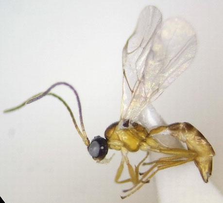 Aphidiinae sp.