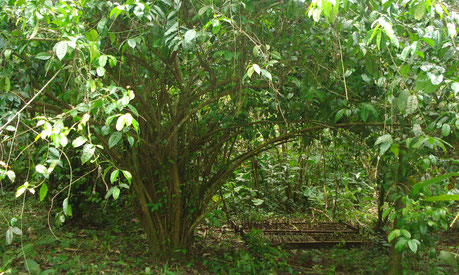Guayusa (Ilex guayusa), ein immergrüner Baum aus dem Amazonas-Regenwald.