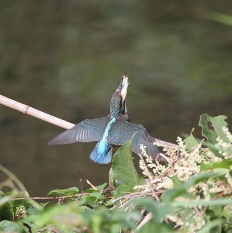 ●羽をバタバタさせて懸命に飲み込もうとしている