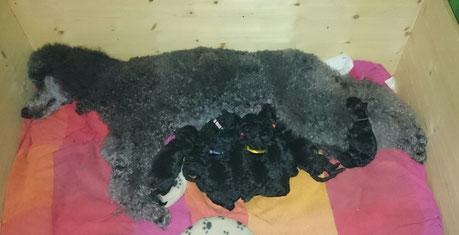 Bellushi,Bluna , Bodo,Bellmondo, Bruni,Bacall, Bärbel und Benno in der frisch gewaschenen Wolle von Mama