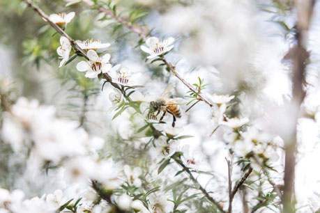 Bee on a Manuka flower sucking nectar