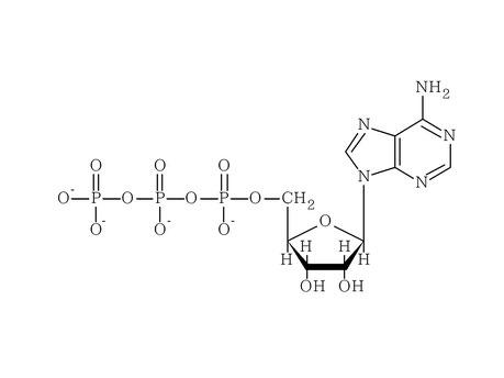 ATP:アデノシン三リン酸