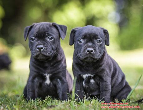 prezzo costo cucciolo staffordshire bull terrier