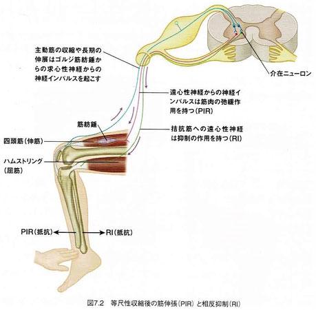 等尺性収縮後の筋緊張(PIR)と相反抑制(RI)