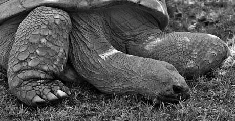 Langsamer leben wie die Riesenschildkröte