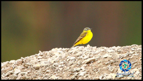Schafstelze Yellow Wagtail on a rock