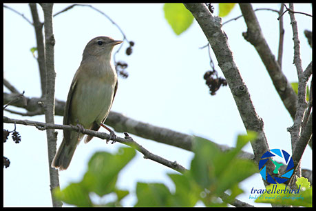 Garden Warbler on a tree