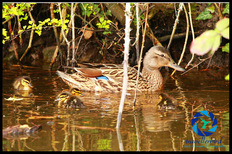 Mallard with some chicks