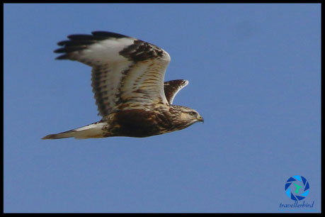 Rough-legged buzzard in flight