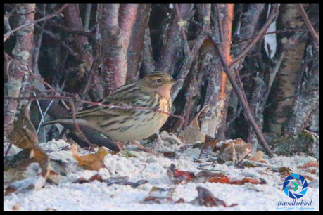 Red-throathed pipit on the beach