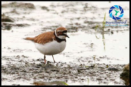 Little ringed plover in a mudfield