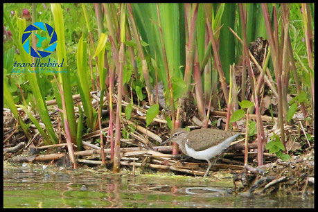 Common Sandpiper on a lake