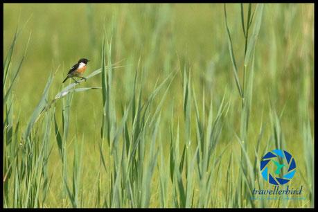 Stonechat Saxicola rubicola] on a meadow