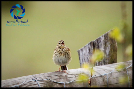Tree pipit singing on a fence