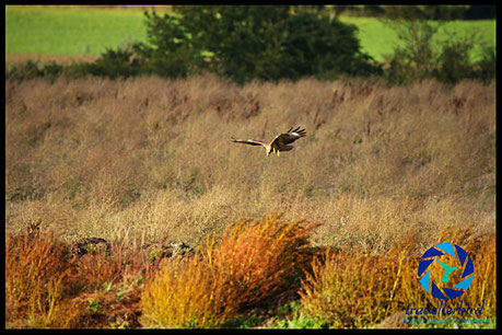 Common Buzzard hunting