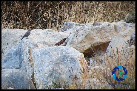 blue rock thrush on a rock