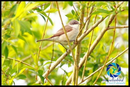 Lesser Whitethroat on a branch