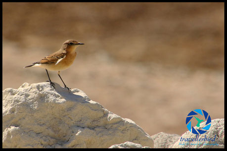 black-eared wheatear on a rock in crete