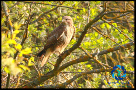Common Buzzard Mäusebussard on a tree